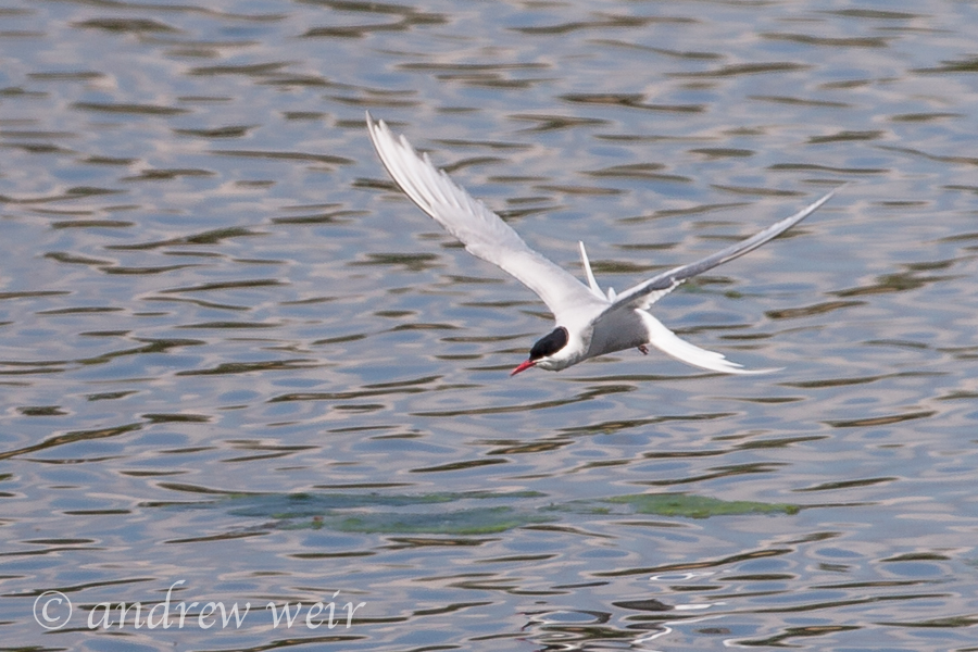 117  Artic Tern
