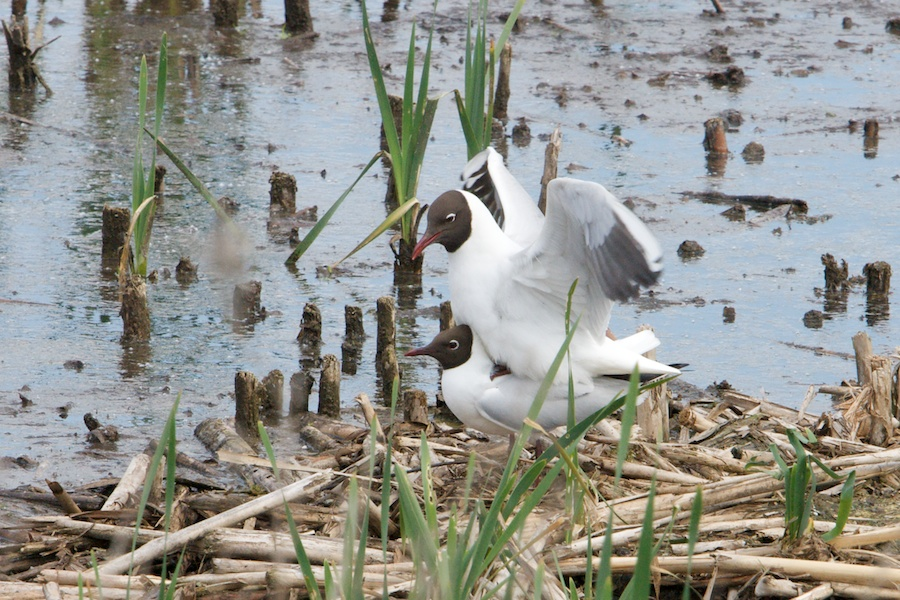 117  Black-headed Gull