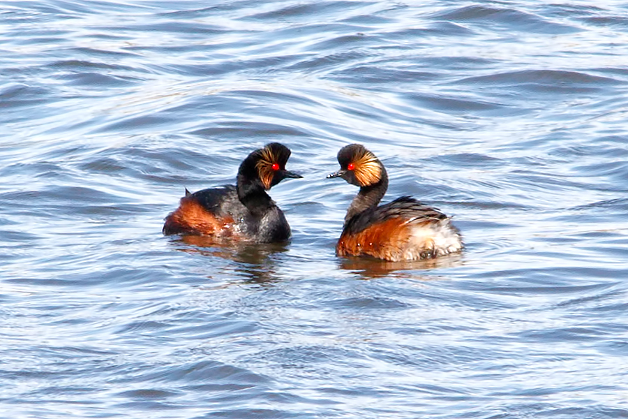 052  Black-necked Grebe