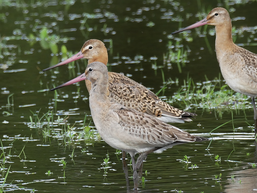 088  Black-tailed Godwit
