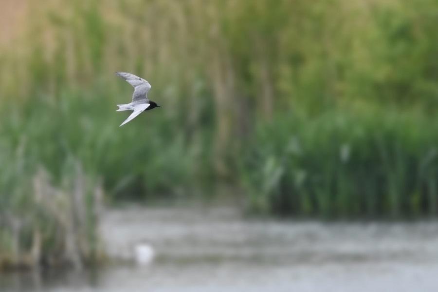 116  Black Tern