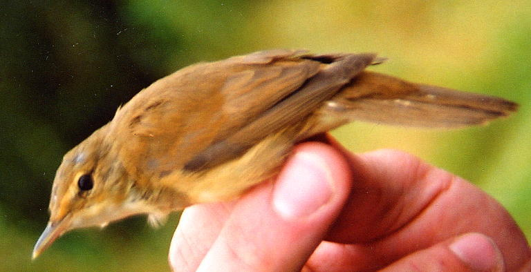 184  Blyth's Reed Warbler