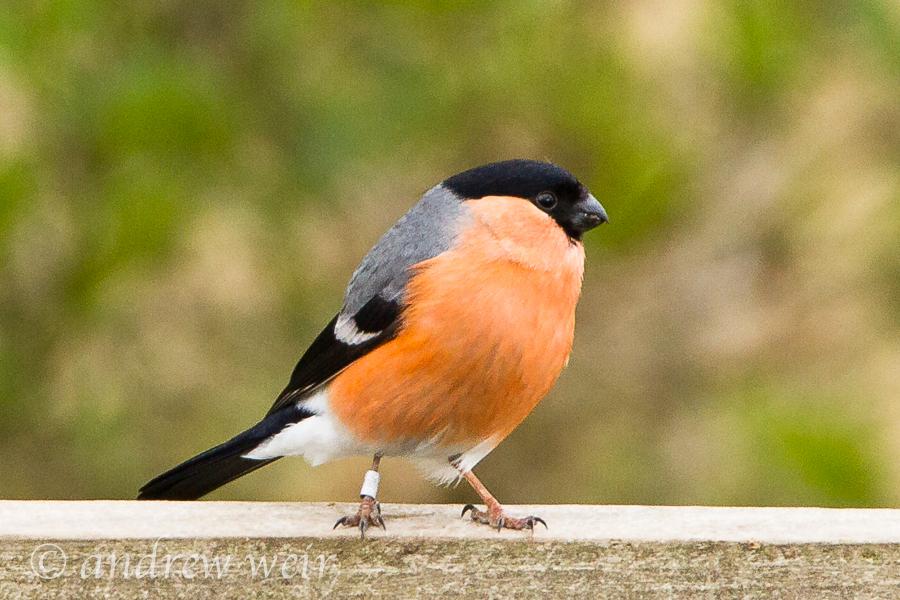 225  Bullfinch