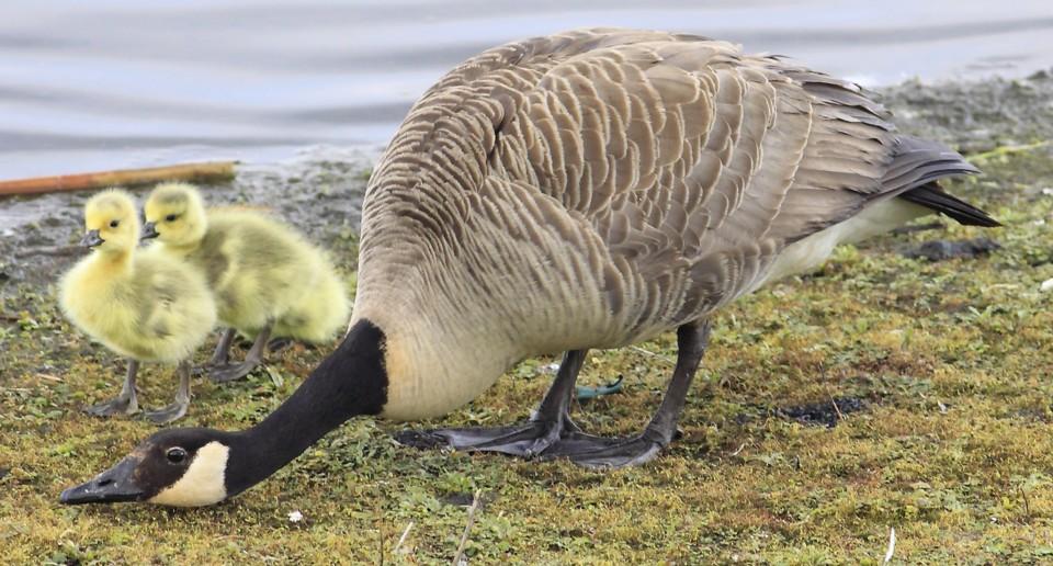 007  Canada Goose