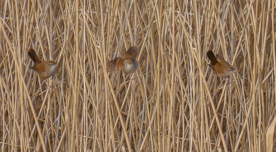 178  Cetti's Warbler