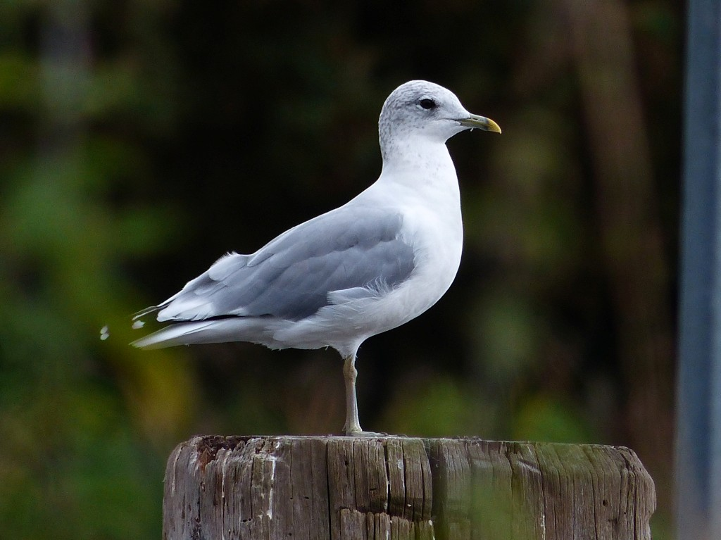 126  Common Gull