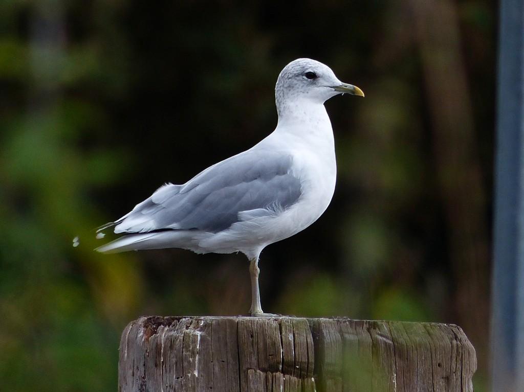 124  Common Gull
