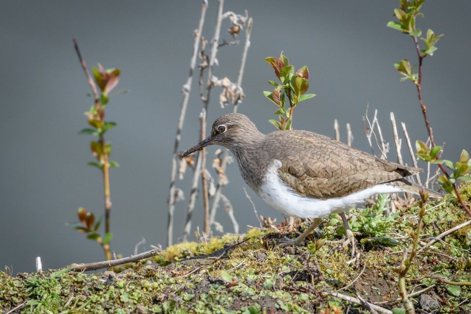 103  Common Sandpiper
