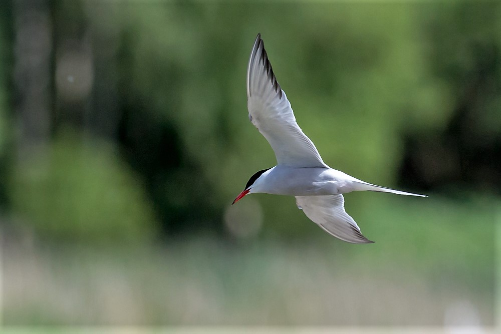119  Common Tern