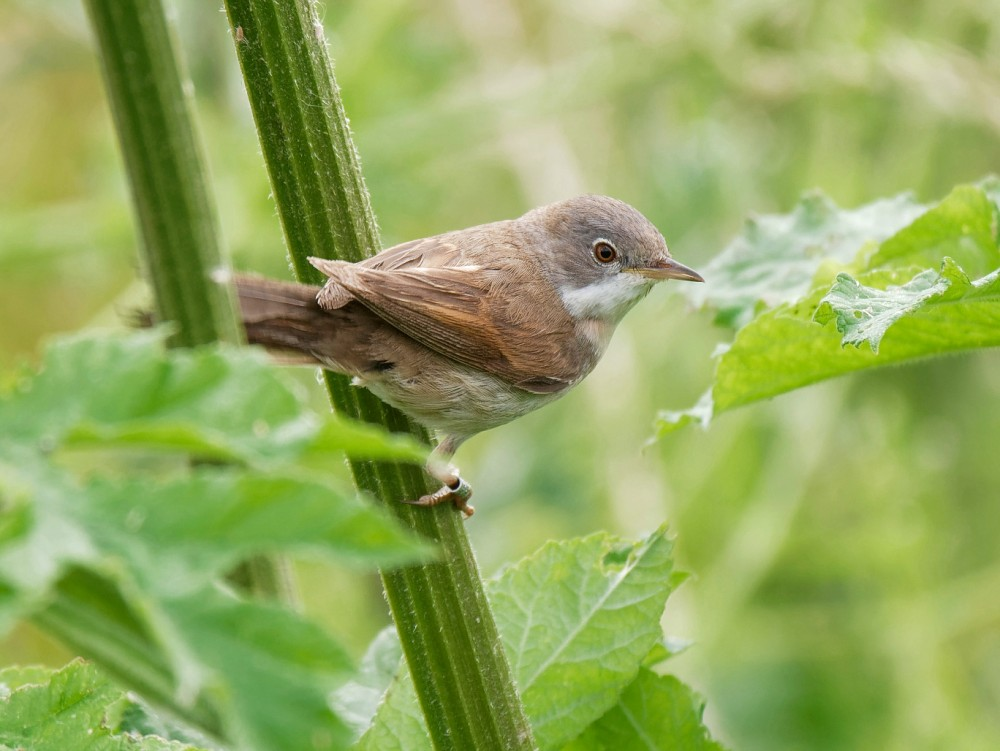 186  Whitethroat