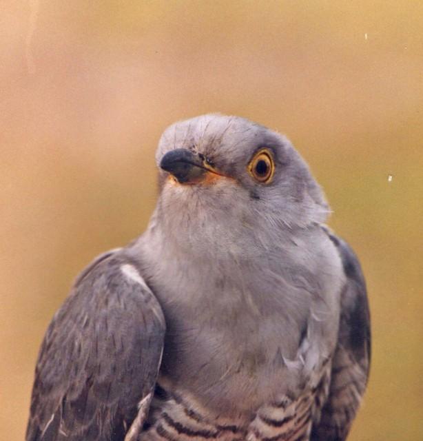 137  Cuckoo