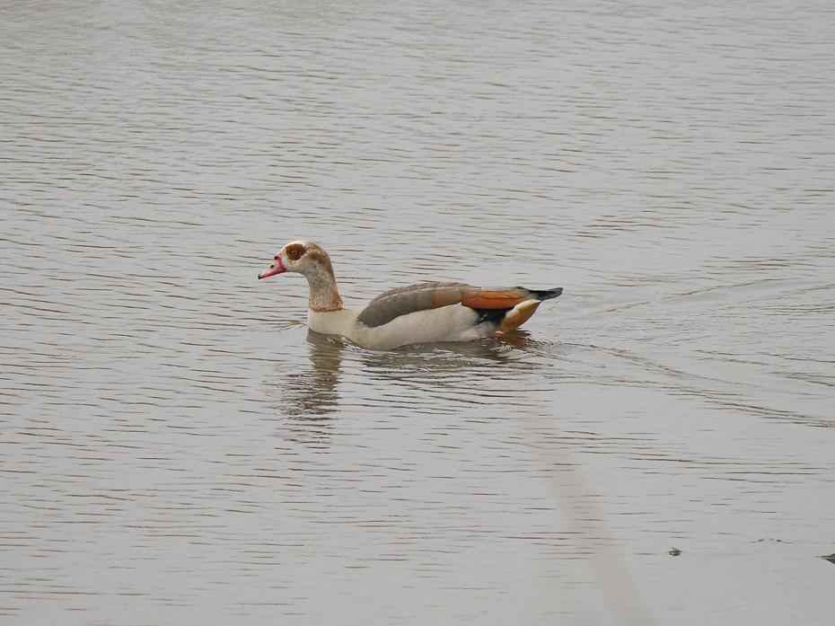 E04 Egyptian Goose