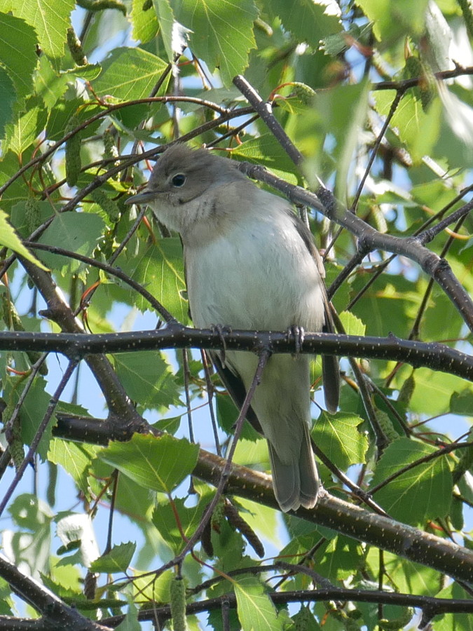 184  Garden Warbler
