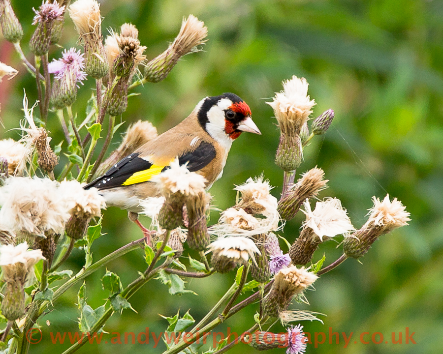 229  Goldfinch