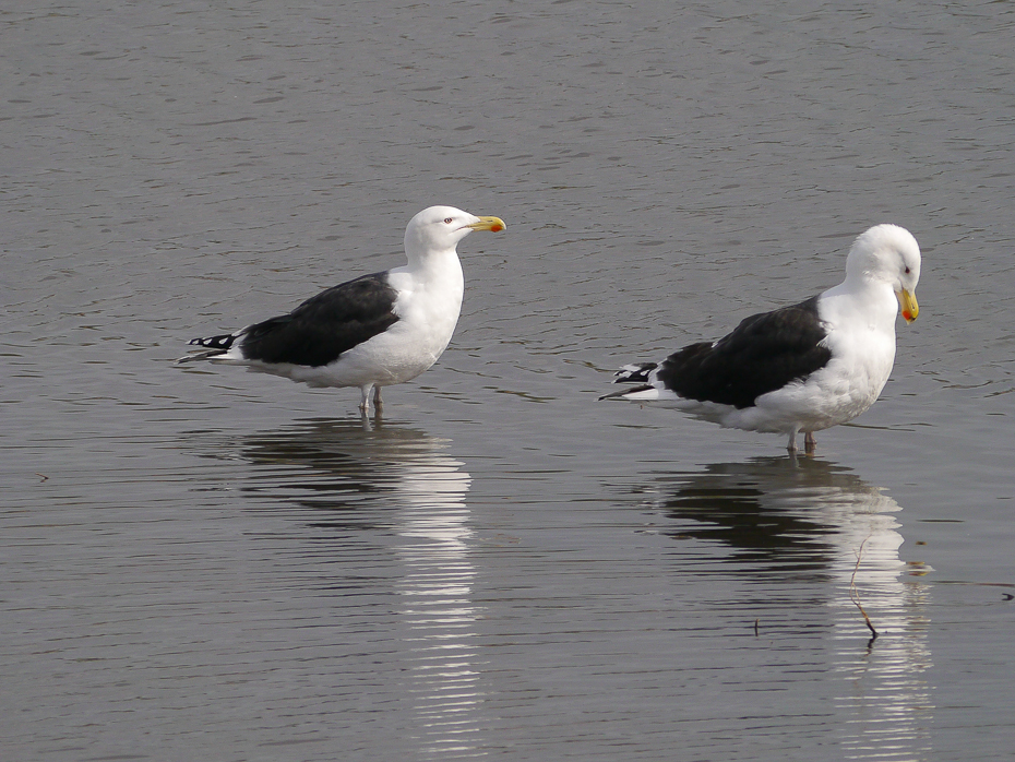 130  Great Black-backed Gull