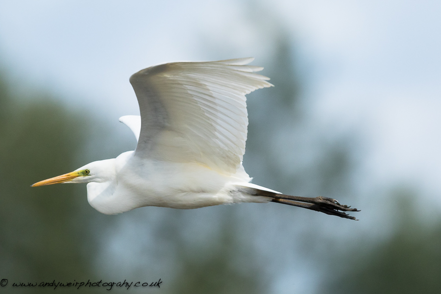 049 Great White Egret