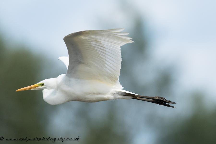 047 Great White Egret