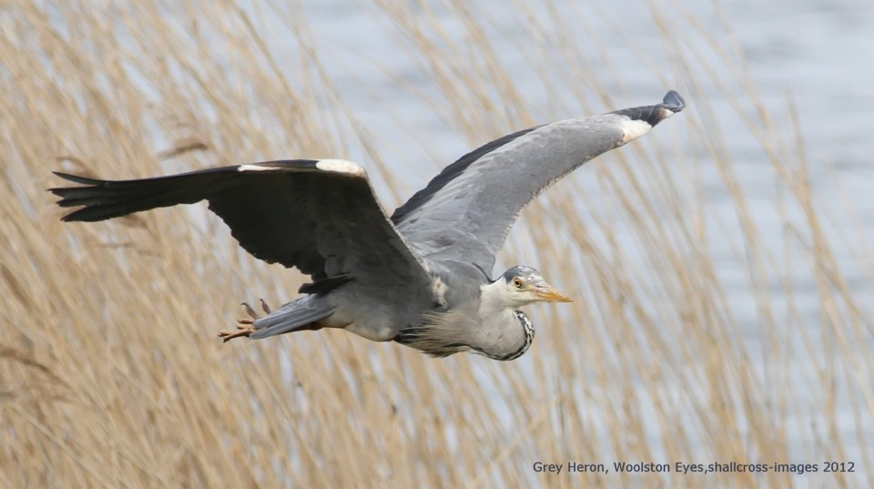 048 Grey Heron