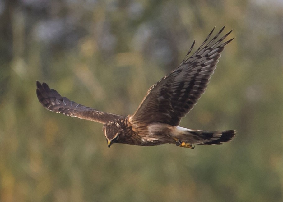060  Hen Harrier