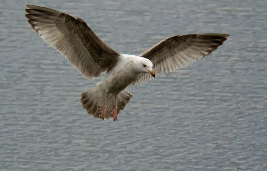 127  Herring Gull