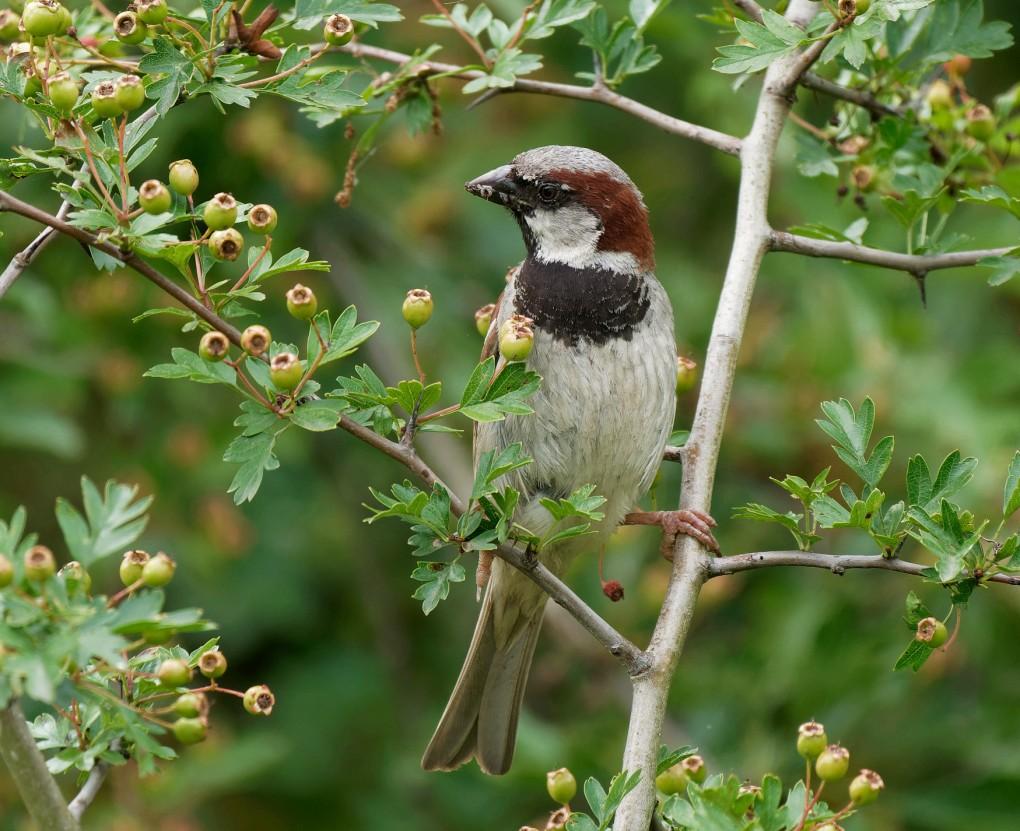 215  House Sparrow