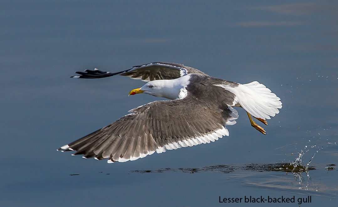 128  Lesser Black-backed Gull