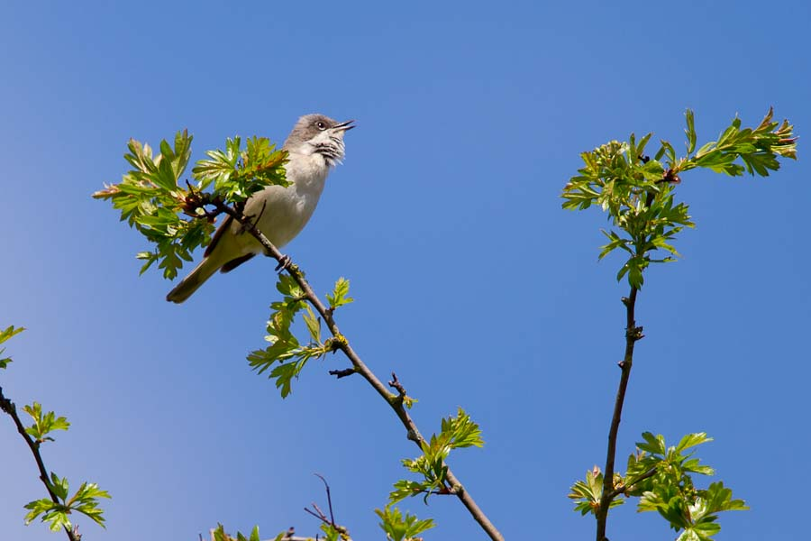 185  Lesser Whitethroat