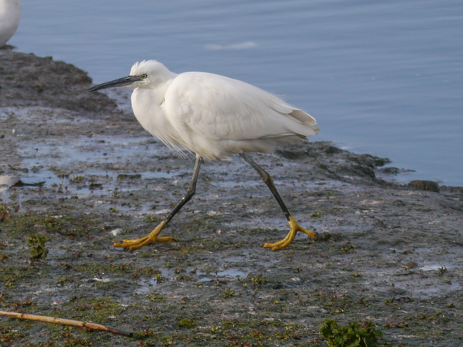 048  Little Egret
