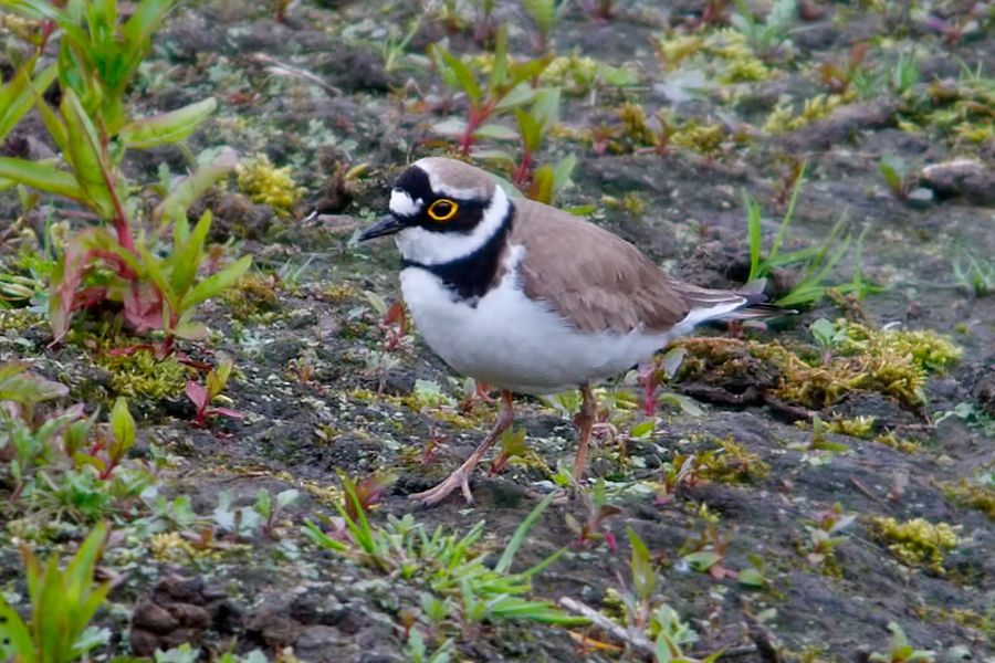 084  Little Ringed Plover