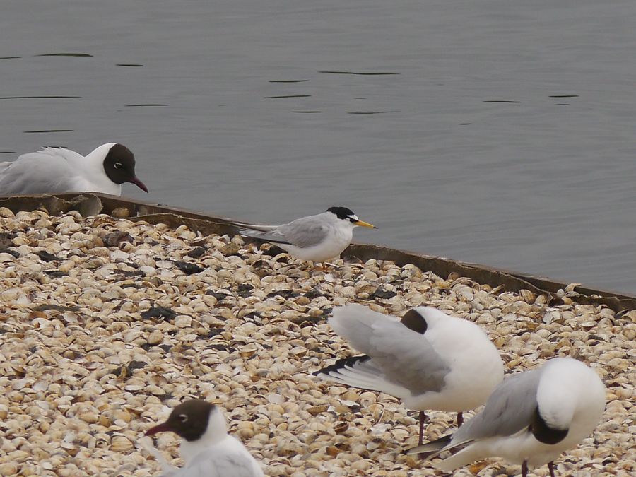 114  Little Tern