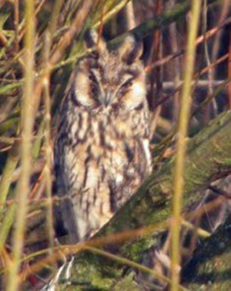 144  Long-eared Owl