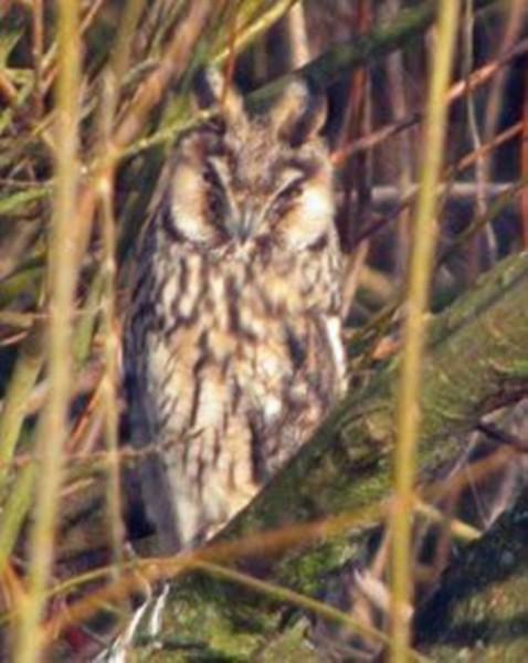 141  Long-eared Owl