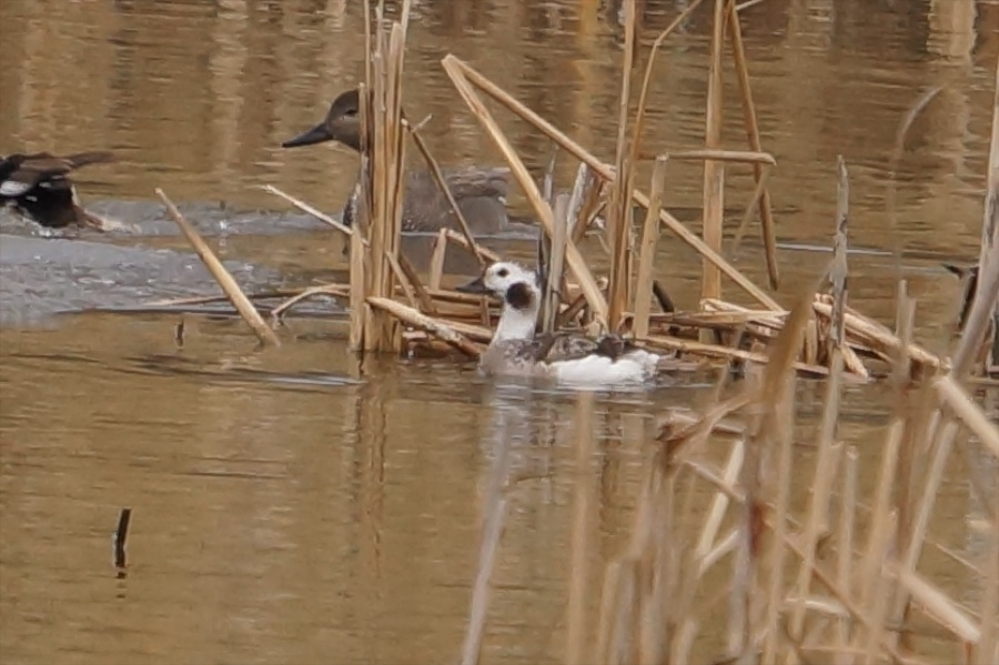 026  Long-tailed Duck