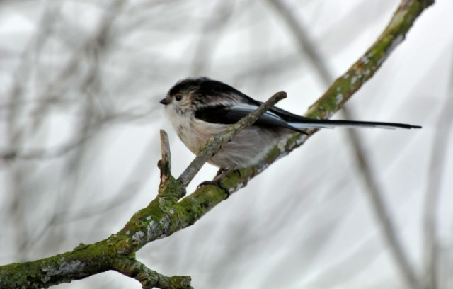 171  Long-tailed Tit
