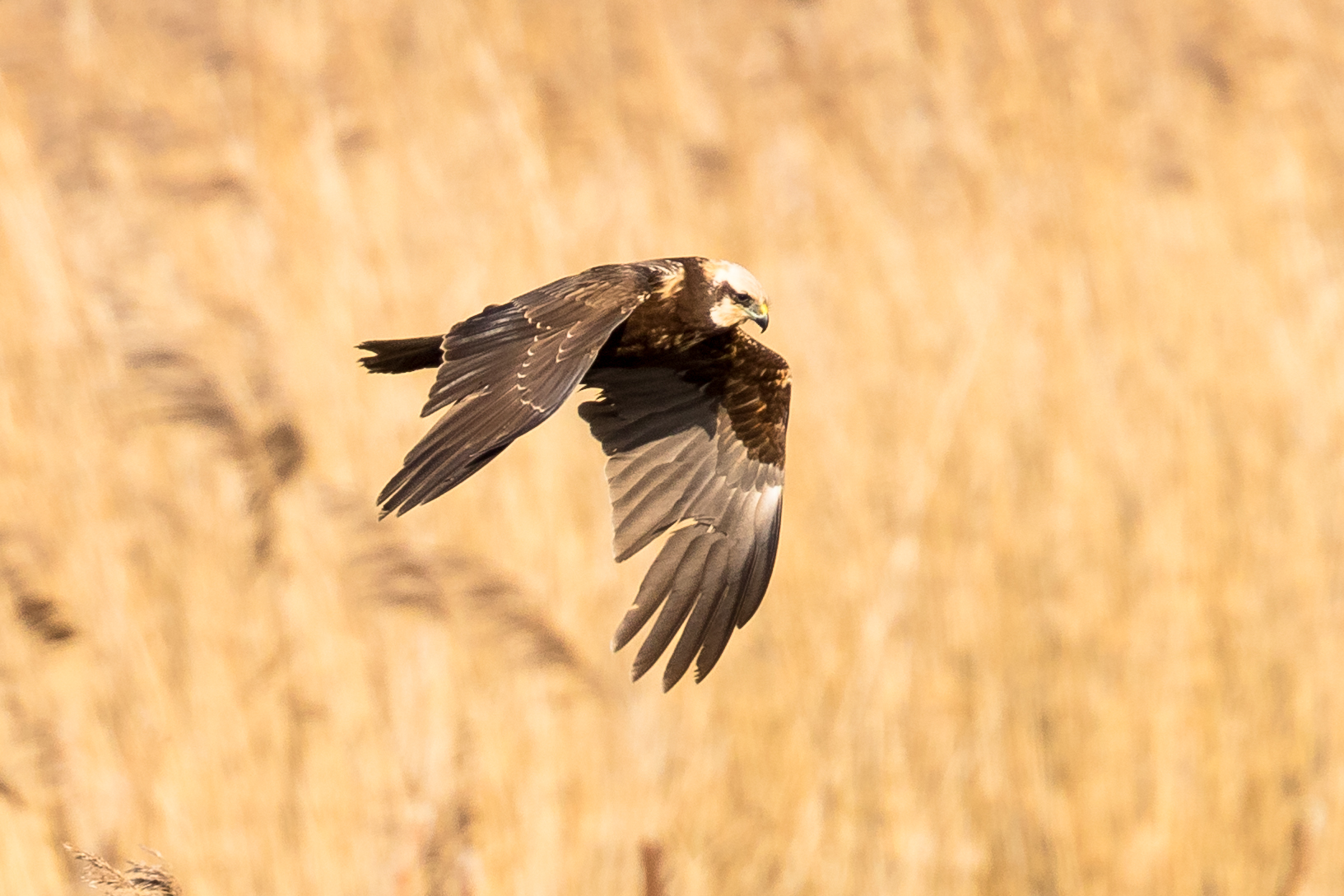 059  Marsh Harrier