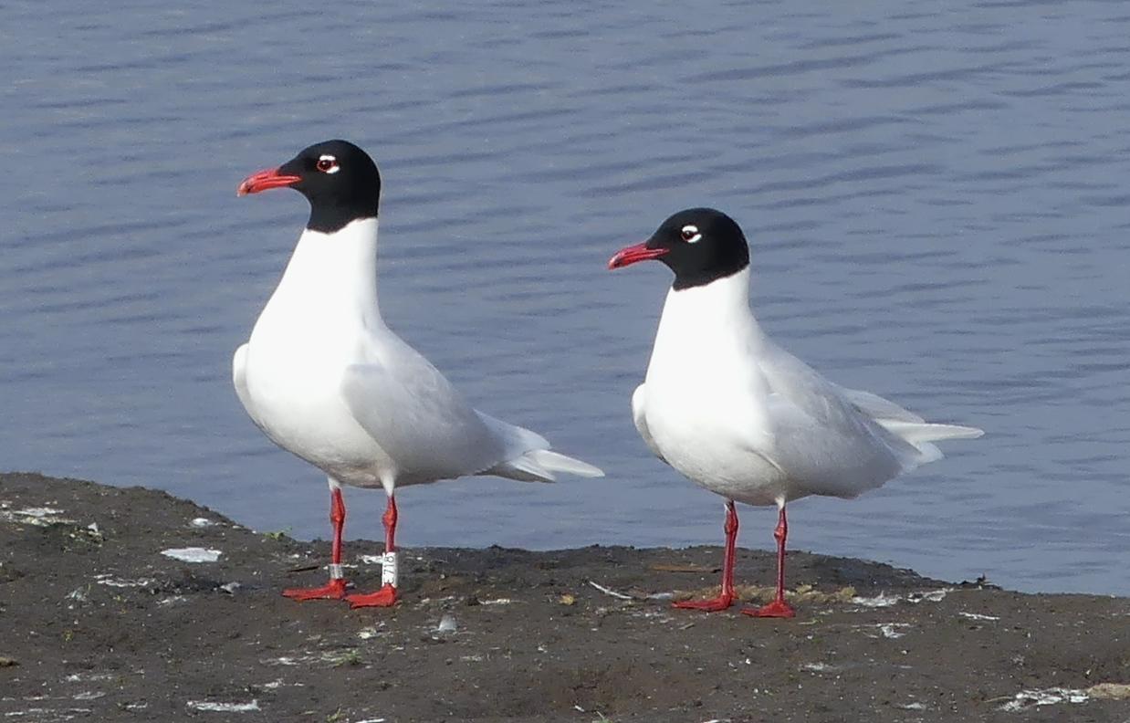 125  Mediterranean Gull