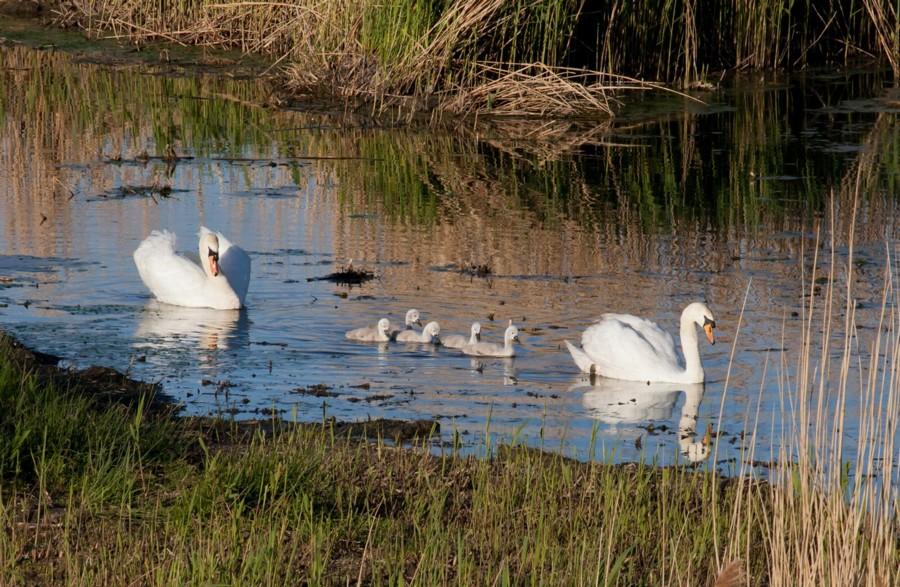001  Mute Swan