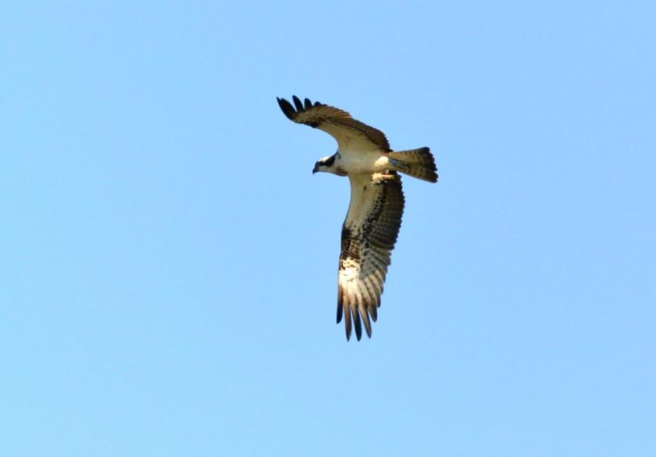066  Osprey