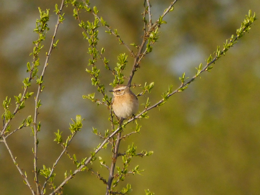 207  Whinchat
