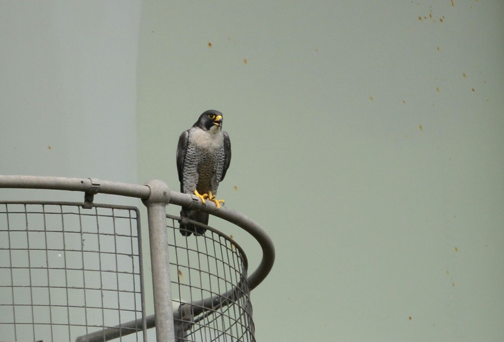 070  Peregrine Falcon