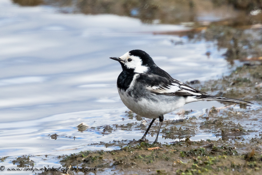 220  Pied Wagtail