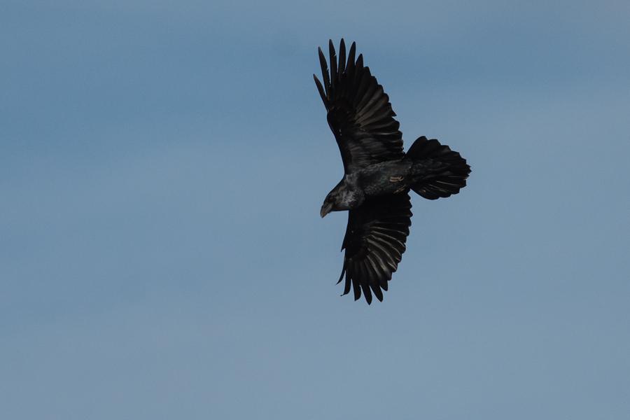 163  Raven