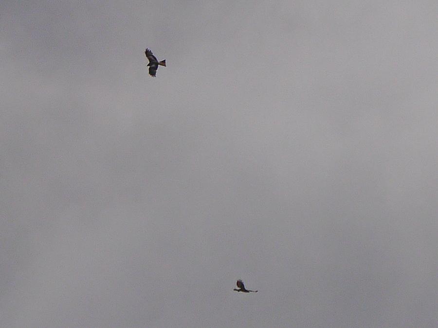 055  Red Kite
