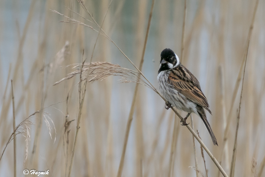 242  Reed Bunting