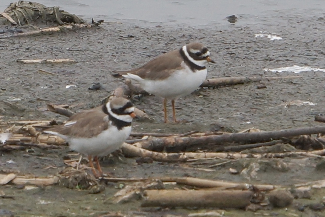 082  Ringed Plover