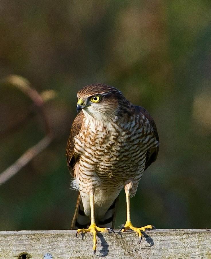 063  Sparrowhawk