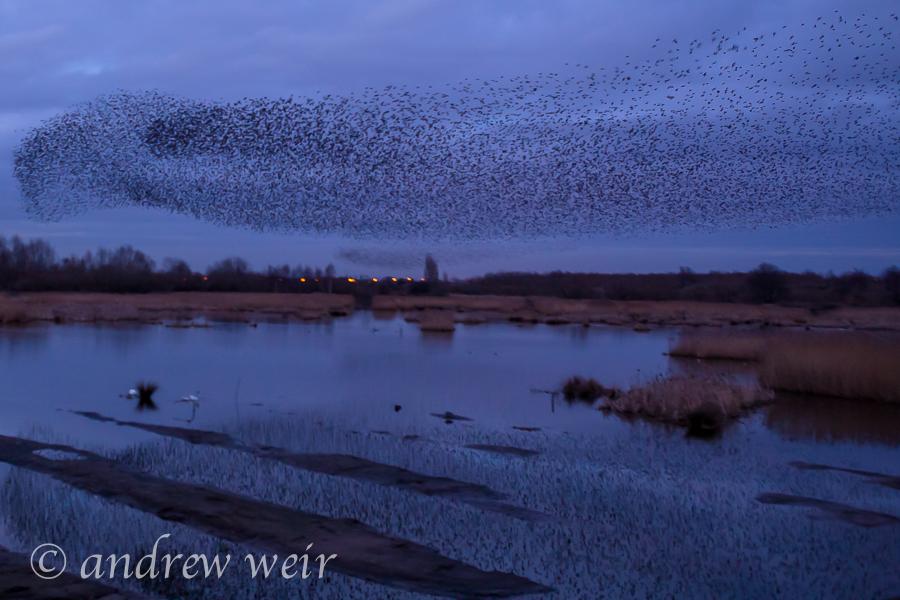 191  Starling