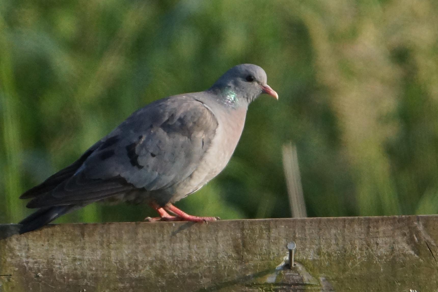 132  Stock Dove