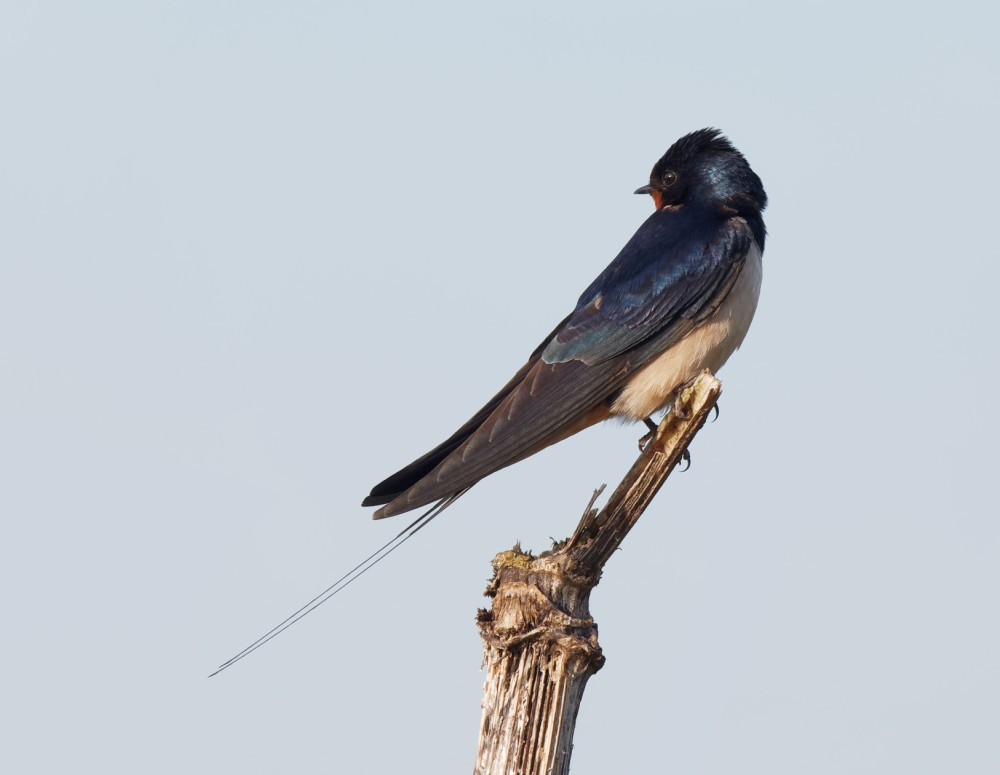 176  Swallow