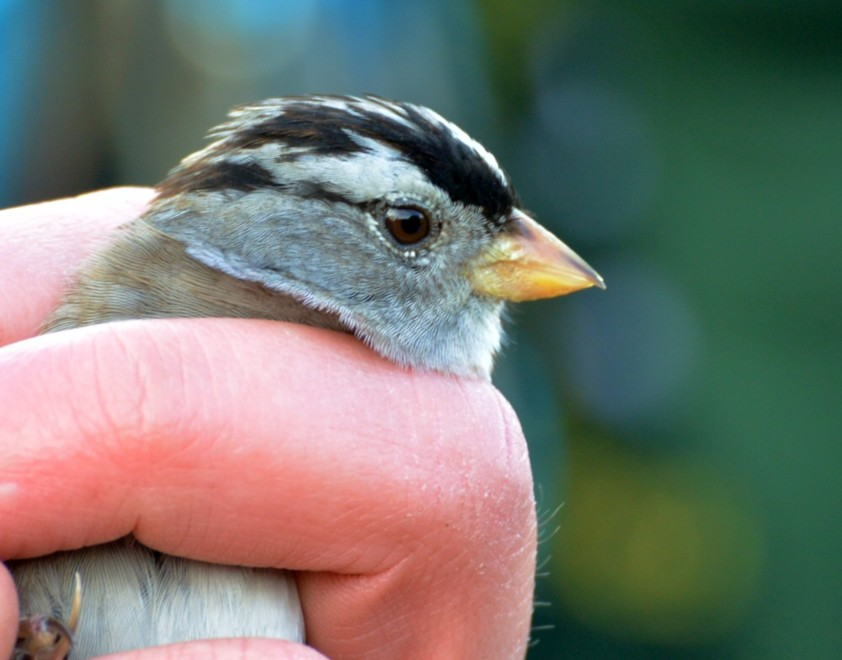 243 White Crowned Sparrow